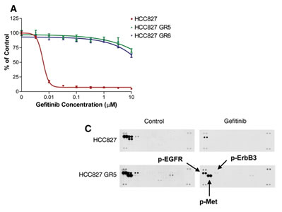 Image showing how HCC827 GR cells are resistant to gefitinib in vitro and show MET amplification